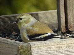 Feb4,2016 056 American Goldfinch (terrygray) Tags: finch