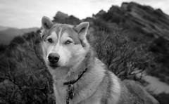Khaleesi Wild (2 of 6) (liquidhavok) Tags: huskie khaleesi vasquezrocks