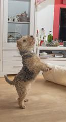 So schwer muss die arme Motte (rentmam1) Tags: dog hund lakelandterrier motte