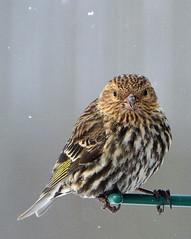 Pine Siskin at the Bird Feeder (ctberney) Tags: winter bird birdfeeder finch pinesiskin carduelispinus gbbc itseasy everyonecandoit countthebirdsyousee youcandoitforjust15minutes