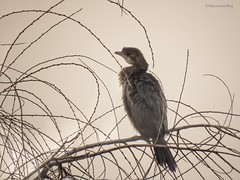 Somewhat sepia (manonvanderburg) Tags: winter tree nature sepia nevel outdoor serene snowing birdwatching rare mistig sfeer birdphotography zeldzaam natuurfotografie littlecormorant dwergaalscholver hungarobirds