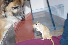 incontri interspecie (conforti.pietro) Tags: dog animals cane gerbil rodents animale gerbillo