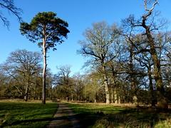 Lone Pine in the Oaks (ericy202) Tags: park norfolk lonepine scots pineoak treeswinterholkham