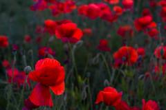 DSC04655 (wheelsy1) Tags: walking derbyshire poppy chesterfield sheepbridge poppyfield unstone richardwiles