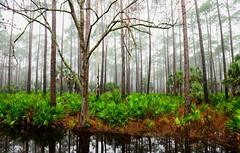 Dark Water at St Marks (jfusion61) Tags: trees winter black nature water st fog pine landscape coast nikon stream florida wildlife marks national swamp wetlands palmetto refuge 2470mm d810