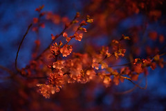 Blue Hour Blossoms (Martin Smith - Having the Time of my Life) Tags: dof bokeh blossoms cherryblossoms bluehour nikkor50mmf14d martinsmith bokehlicious nikond750 martinsmith