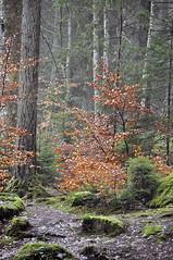 Woodland Walk (magaroonie) Tags: trees forest woodland perthshire thehermitage