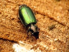 Green Lebiine (treegrow) Tags: nature insect washingtondc beetle rockcreekpark arthropoda coleoptera carabidae lifeonearth raynoxdcr250 canonspeedlite430exii lebiaviridis canonpowershotsx40hs coptoderaaerata taxonomy:binomial=coptoderaaerata