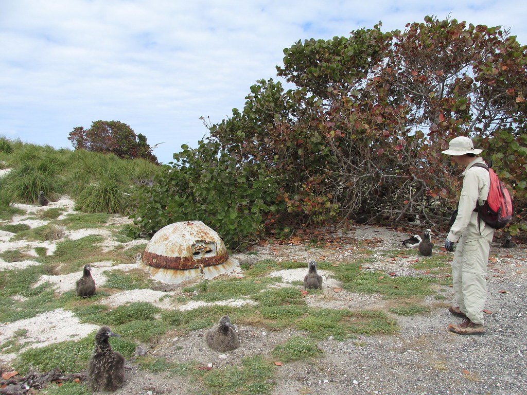 starr-150329-0939-Coccoloba_uvifera-Forest_pill_box_and_Laysan_Albatrosses-Turtle_Beach_Sand_Island-Midway_Atoll