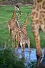 Giraffes in the river