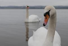 ''You got bread?'' (notsophotogenic1) Tags: macro closeup swan fife dundee tay tayport