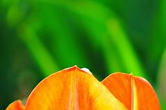 Sherwood Gardens ~ tip of the Tulip - HMM & HBW! (karma (Karen)) Tags: flowers dof tulips bokeh vibrant maryland baltimore brightcolors minimalism macros hmm sherwoodgardens 4spring hbw macromondays cmwdorange bokehwednesdays