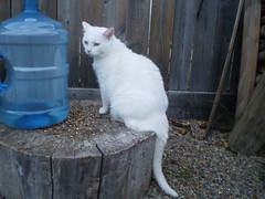 Mystic (universalcatfanatic) Tags: wood summer cats white tree green bird eye water stone yard cat fence out outside fire wooden back bottle eyes backyard sitting stones side seed pit stump sit tall cooler firepit mystic gravel
