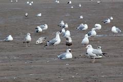 Sea Gulls (NTG's pictures) Tags: sea shells cormorants bay harbour gulls pebbles bae rhyl oystercatchers kinmel cinmel