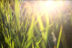 Glowing grass (braerik) Tags: sunset sun green sol grass gress solnedgang grnt