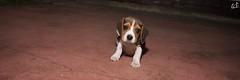 PanoraMax. (Emilio A. Cerda Fierro) Tags: dog beagle animal puppy arte perro mascota