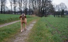 Balco (sebastian_bocholt) Tags: dog hund watchdog bocholt jagdhund magyarvizsla ungarischervorstehhund alpha350 tamronaf1750mm28