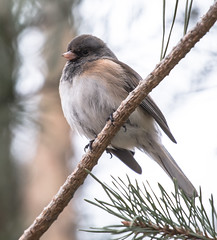 Dark-Eyed Junco (Jan Crites) Tags: winter bird nature outdoors nikon wildlife iowa perched avian darkeyedjunco perching lilylake d610 amanacolonies jancritesphotography nikon200500mm