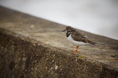 Ruddy Turnstone (Future-Echoes) Tags: bird animal wall coast dof bokeh feathers depthoffield essex ruddyturnstone turnstone 2016 waltononthenaze