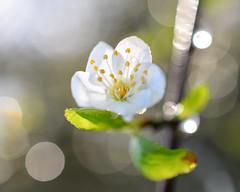 Plum Blossom (Penseroso) Tags: closeup bokeh plumblossoms micronikkor40mmf28