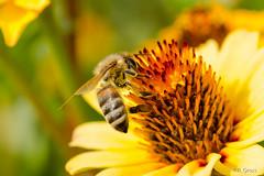 Biene 36 (rgr_944) Tags: macro tiere outdoor natur pflanzen blumen bee abeille insekten bienen bienenhummelnwespen canoneos60dcanoneos70d rgr944