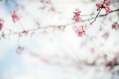 Kawazuzakura (Nazra Zahri) Tags: winter nature japan 50mm nikon sunny okayama plumblossoms 2016 dowa 50mmf14d kawazuzakura  d700 konanairport