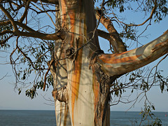 Eucalyptus Tree (kenjet) Tags: color tree water leaves bay branch view branches bark trunk eucalyptus eucalyptustree