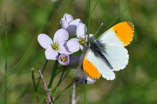 An Orange-tip Butterfly in EXPLOED 3 March 2016