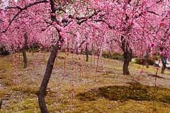 -5 (nobuflickr) Tags: flower nature japan kyoto         prunusmumeformpendula jounanguushrine 20160226dsc00110