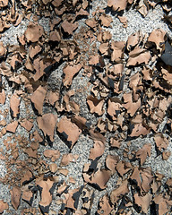 Umbilicaria mammulata (Smooth Rock Tripe) (Plant Image Library) Tags: park new england plants nature ecology rock march spring massachusetts smooth gloucester granite lichen tripe ravenswood foliose umbilicaria mammulata