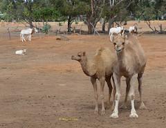 Camels (2) (margaretpaul) Tags: zoo calf camels motherandcalf werribeeopenrangezoo youngcamel