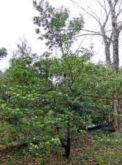 Pittosporum tobira (Thunb.) W.T.Aiton 1811 (PITTOSPORACEAE) (helicongus) Tags: spain habit pittosporum pittosporaceae pittosporumtobira jardnbotnicodeiturraran