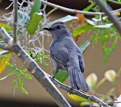 GRAY CATBIRD 3-14-16 441 (Mudhen2) Tags: blue food black nature cat georgia island wings nest florida wildlife branches low gray beak insects ground brush hide national danny meow crown material feed migration bales common twigs thick merritt nesting refuge territory songbird lores mudhen primaries tailfeathers bushy uncommon migrate secondaries mudhen2