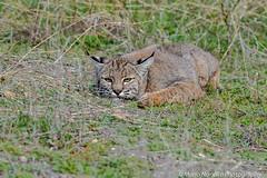 Hiding Bobcat (fascinationwildlife) Tags: california winter wild usa nature animal america cat mammal feline wildlife natur central rufus valley elusive bobcat lynx luchs rotluchs