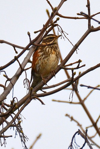 Redwing - Fremington Quay 11-03-2016 17-26-13