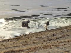 2016.01.31-16.08.25 (Pak T) Tags: bennett chelmsford dogs heartpond olympusmzuiko45mmf18 pond pug jump leap leaping jumping