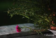 In the rain (+st) Tags: pink light plant flower rain closeup raindrop tamron90mm macrophotography directional japaneserose