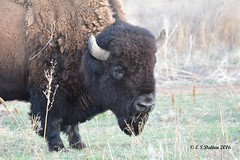 April 10, 2016 - A good looking bison at the Arsenal. (Ed Dalton)