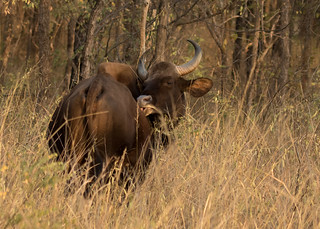 Gaur (Indian Bison) - Bos gaurus