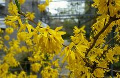 Parkanlage Tannenweg 4 (eagle1effi) Tags: macro yellow bokeh noflash raindrops sfm s5 bokehwhores samsunggalaxys5 sfmselectivefocusmode