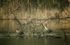 The greylag goose (Anser anser) (Aleoko) Tags: goose 15challengeswinner