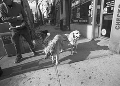 Leader of the Pack (Brian Gilbreath) Tags: life street city nyc newyorkcity people urban blackandwhite film dogs 35mm photography puppies nikon shadows streetphotography streetphoto dogpack ilford nikonf3 dogwalker ilfordhp5plus