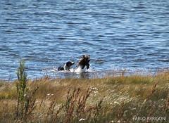 Swiming Morning (Pablo Arrigoni) Tags: santa naturaleza lake dogs nature water argentina argentine animals canon fun outside lago eos jump agua cruz perros animales salto 75300 perito moreno 70d eos70d