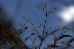 IMG_6726.CR2--Nandina Domestica (jalexartis) Tags: spring shrub shrubbery nandina newgrowth nandinadomestica tenderleaves