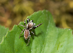 Peppered Jumper Strikes a Pose :) (Bonnie Ott) Tags: daniels jumpingspider pelegrinagalathea pepperedjumper