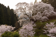 8Butsuryuji Temple (anglo10) Tags: japan cherry temple