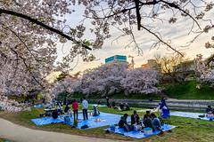 Okazaki Park Cherry Blossom (derek7464) Tags: sunset flower japan  cherryblossom  sakura aichi hdr hanami   okazakicastle  sigma1770mm  okazakipark nikond7000