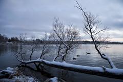 Frozen (Seasan) Tags: sunset lake reflection tree ice water frozen ripple goose fallen wilcox freezingrain wate froze