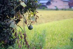 (Yorozuna / ) Tags: plant field japan bug spider vegetable squash    shiga   takashima         japanesesquash pentaxautotakumar55mmf18 tropicalsquash