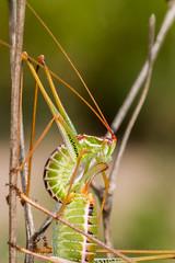 Mating Katydids (jgruber111) Tags: macro insect katydid orthoptera tettigoniidae entomology